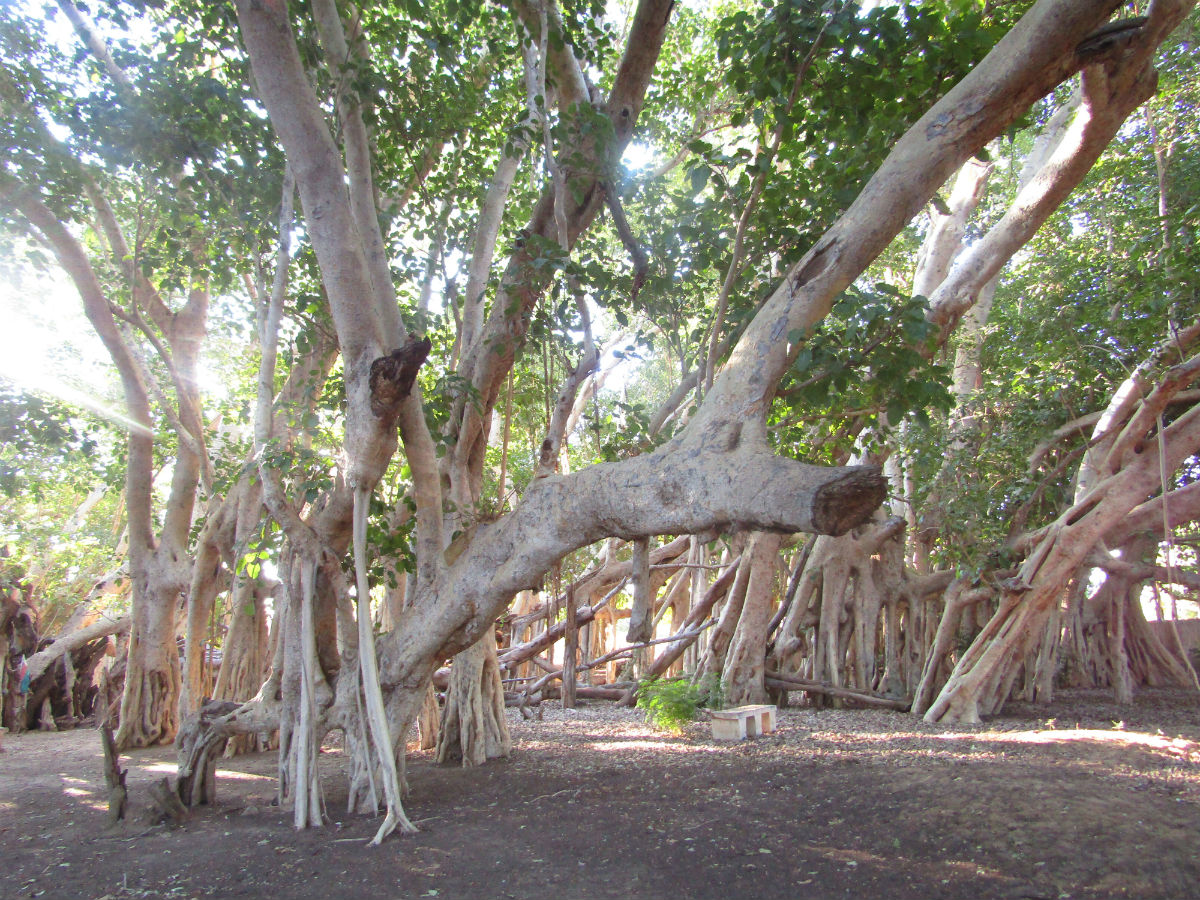 Sacred tree of Madagascar: one of the best attraction in the south!