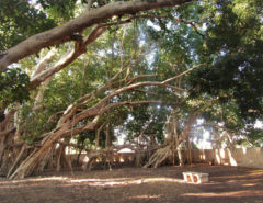 Miary Sacred Tree in Madagascar - one of the best attractions in the south