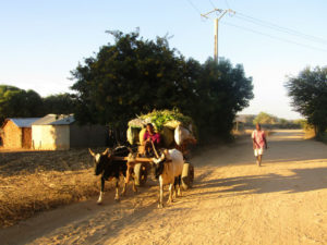 zebu carriage Miary sacred banyan tree