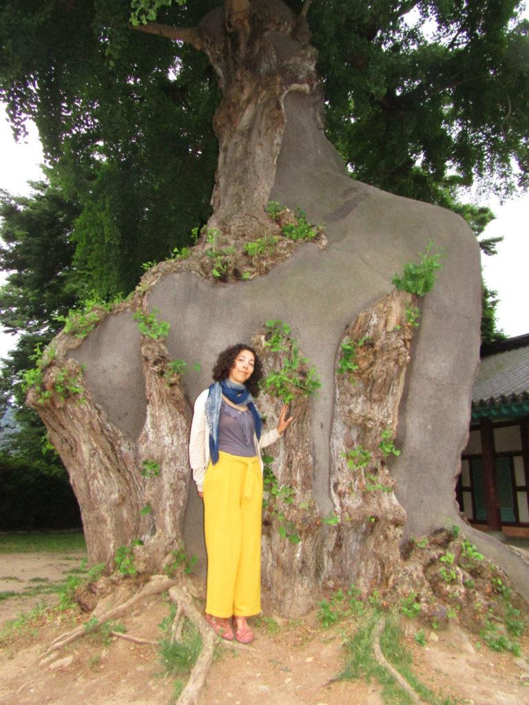 Gingko Tree Jeonju Hyanggyo Confucian Scholl