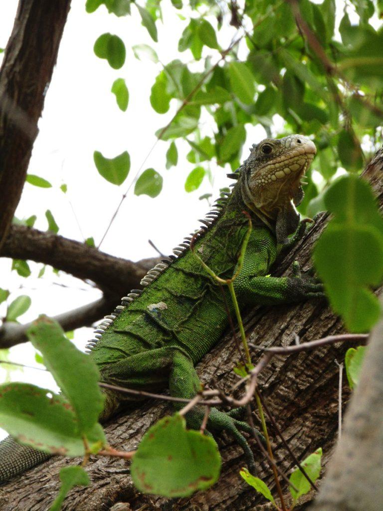 Iguane pendant le voyage en Martinique avant le confinement du coronavirus