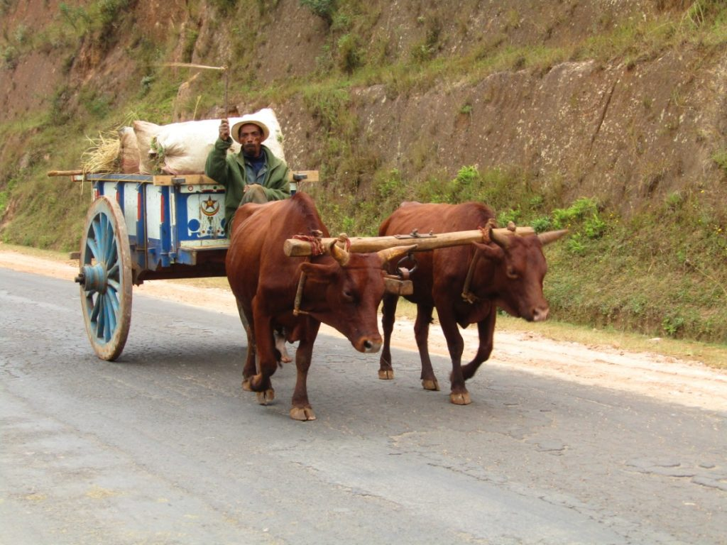 Charette and zebus on the RN7, on the road to find my grandfather in Tulear, Madagascar