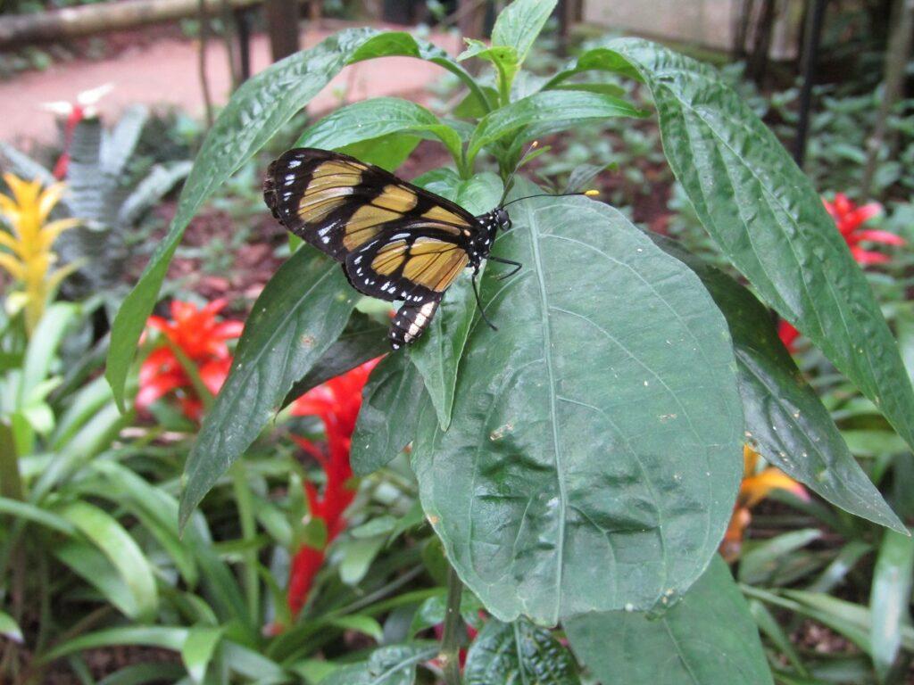 Butterfly in the bromelias Parque das Aves Birds Park Iguazu Brazil