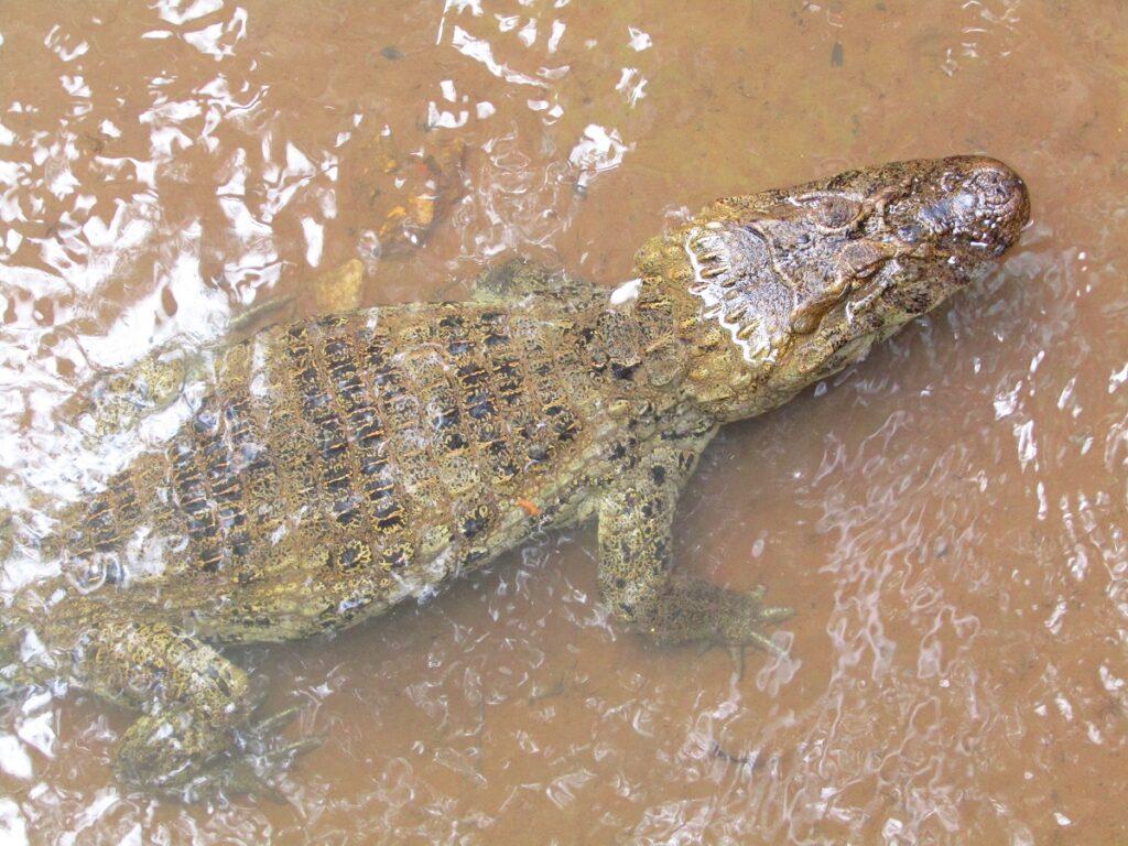Crocodile dans le parc national d'Iguazu en Argentine